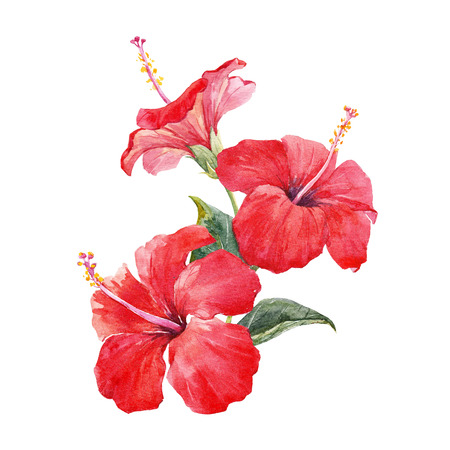Watercolor hibiscus composition 版權商用圖片