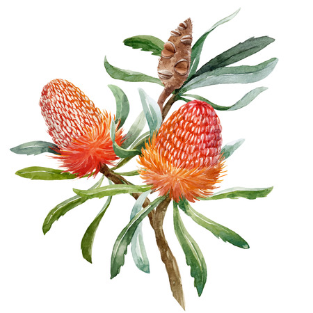 Watercolor banksia flower vector composition in isolated background Ilustração