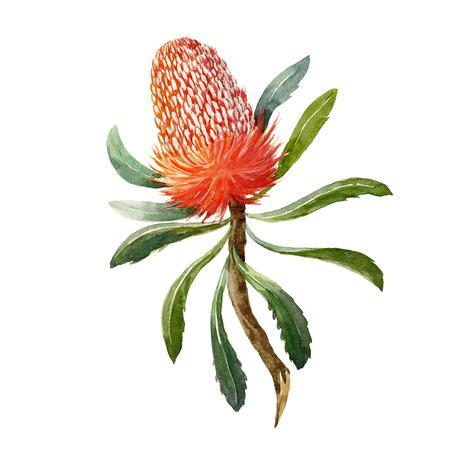 Flor de acuarela Banksia Foto de archivo - 90571170
