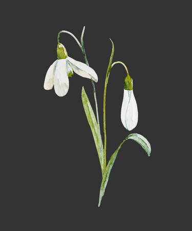 Beautiful illustration with hand drawn watercolor snowdrop flower Çizim