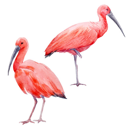 Watercolor ibis bird set
