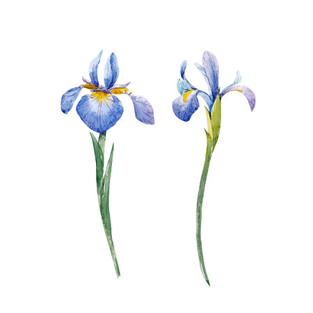 Watercolor iris vector set Çizim