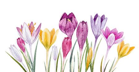 Watercolor floral crocus set 스톡 콘텐츠