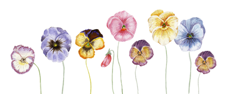 Watercolor pansy flowers