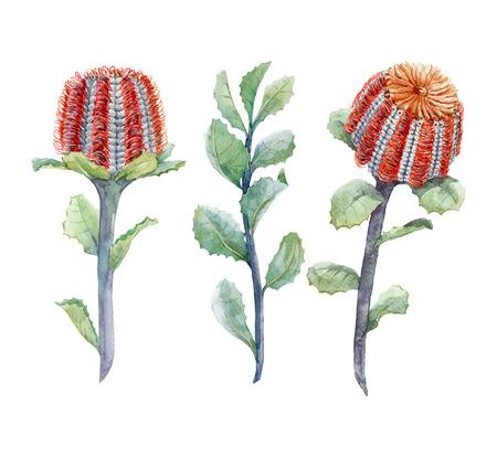 Watercolor australian banksia floral set