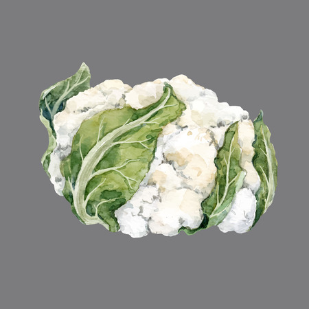 Watercolor cauliflower vector illustration