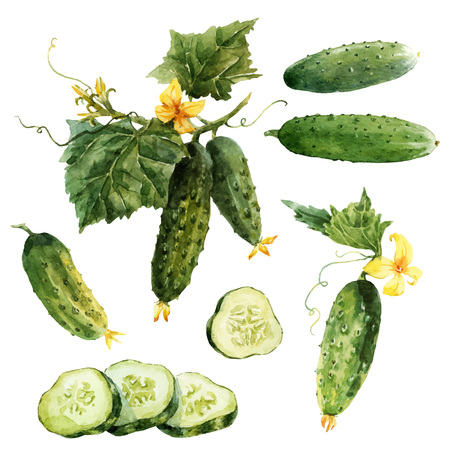 Watercolor cucumber vector set