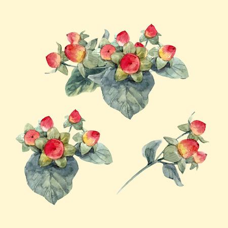 Watercolor hypericum vector berries