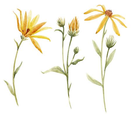 Watercolor topinambur illustration Stock Photo