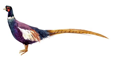 Watercolor pheasant
