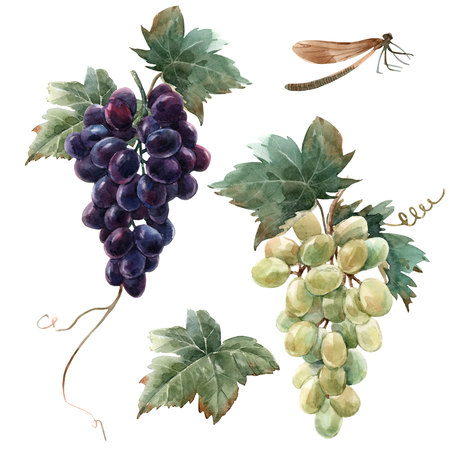 Watercolor grape set Foto de archivo - 111746761