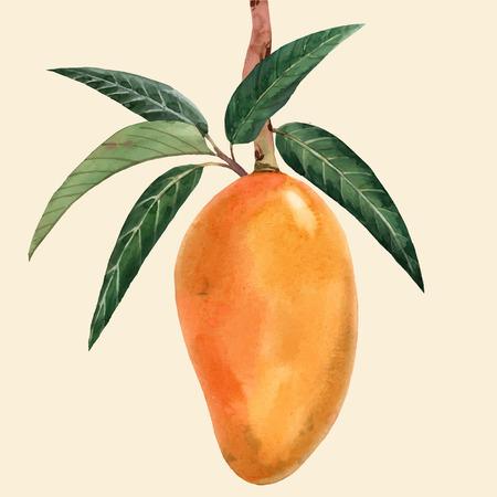Ilustracja wektorowa akwarela owoców mango Ilustracje wektorowe