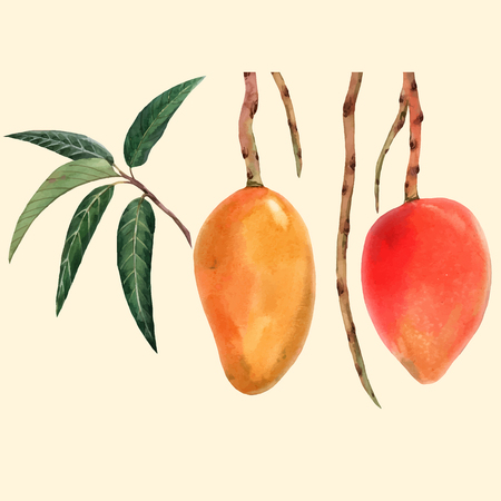 Watercolor mango fruit vector illustration