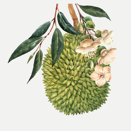 Beautiful vector illustration with watercolor tropical fruits durian and flowers