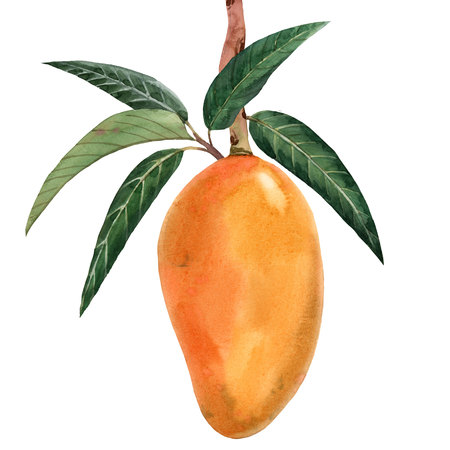 Watercolor mango tropical fruit illustration Stock Photo