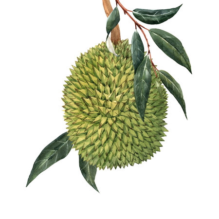 Watercolor durian tropical fruit illustrtion Stock Photo