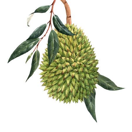 Watercolor durian tropical fruit illustrtion Stock Photo