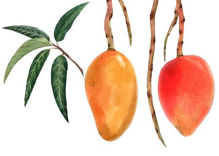 Watercolor mango tropical fruit illustration Stock Photo