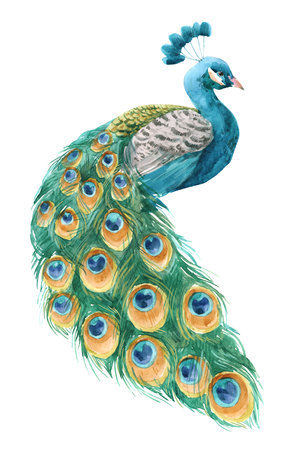 Watercolor peacock illustration Reklamní fotografie - 116869366