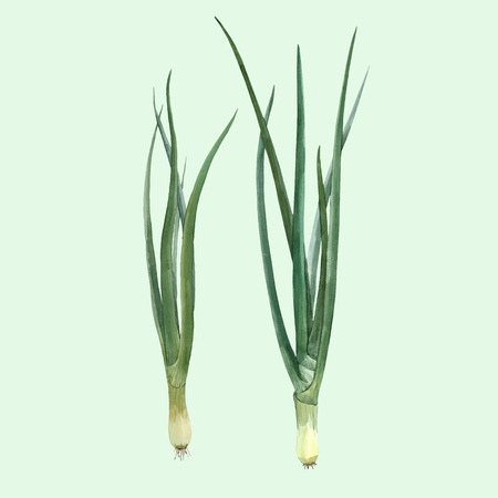 Beautiful vector hand drawn illustration with watercolor green onion