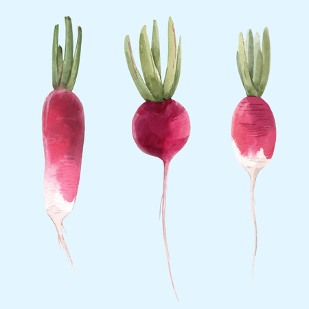 Beautiful vector illustration with watercolor hand drawn radish vegetable Ilustracja