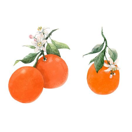 Beautiful vector illustration with watercolor citrus fruits orange lemon Vektoros illusztráció