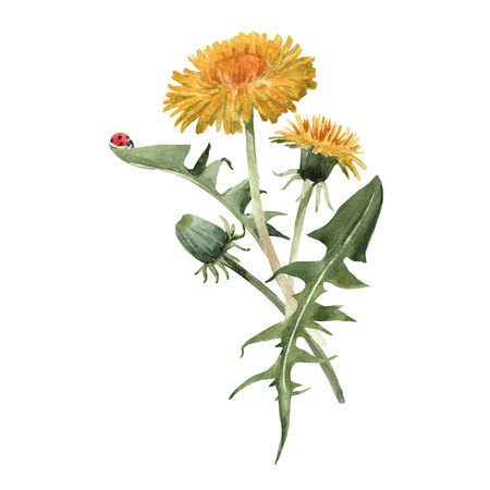 Watercolor dandelion blowball illustration Stock Photo