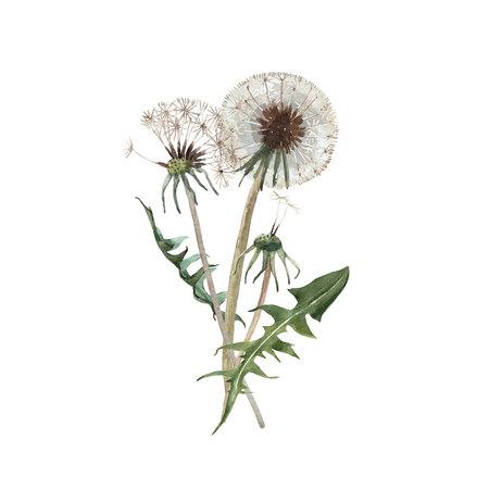 Watercolor dandelion blowball illustration Stockfoto