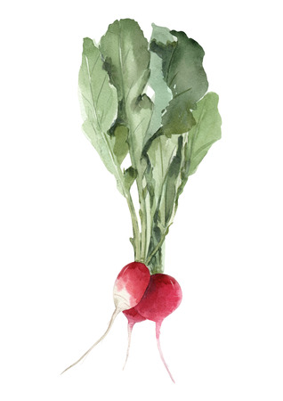 Watercolor radish illustration Stok Fotoğraf - 123107871