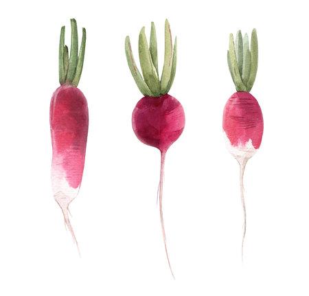 Watercolor radish illustration