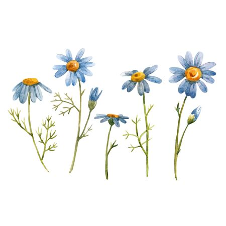 Beautiful vector illustration with watercolor blue chamomile daisy flowers