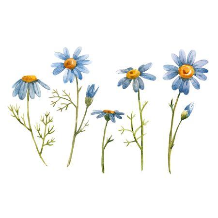 Schöne Vektorillustration mit blauen Kamillen-Gänseblümchen-Blumen des Aquarells