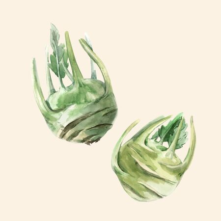 Beautiful vector illustration with hand drawn watercolor green kohlrabi vegetable
