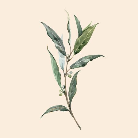 Beautiful vector watercolor illustration with laurel plant bay leaf