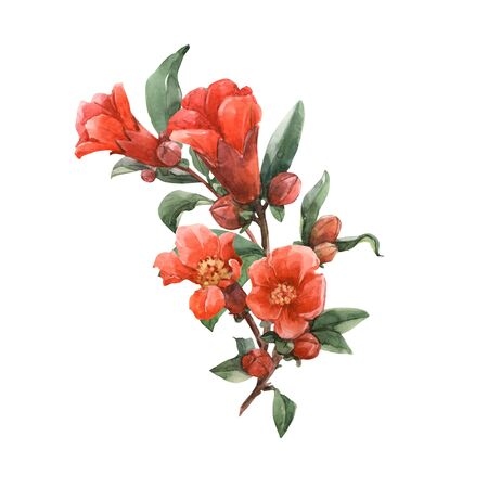 Watercolor pomegranate flowers Stock Photo