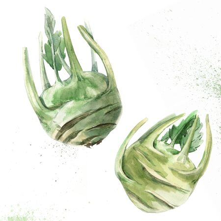 Watercolor kohlrabi vegetable
