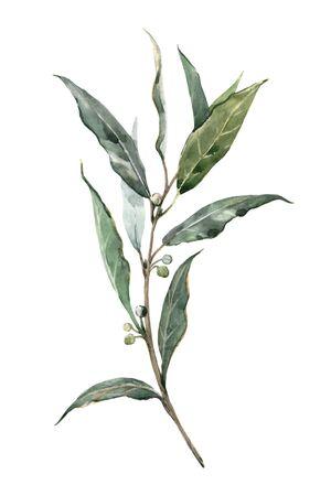 Watercolor laurel bay leaf