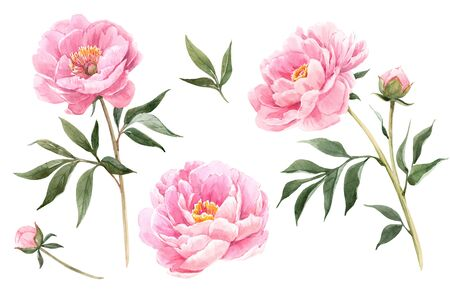 Watercolor peony flowers illustration