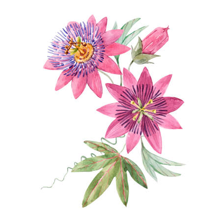Beautiful vector image with watercolor summer pink passionflower painting. Stock illustration.