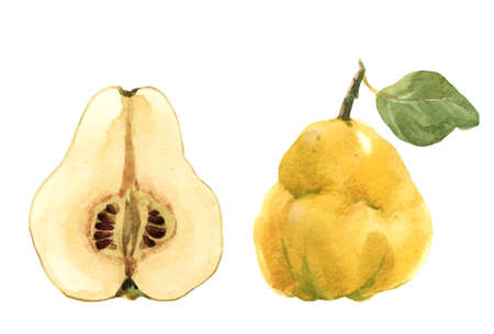 Beautiful set with watercolor hand drawn quince fruit. Stock illustration.