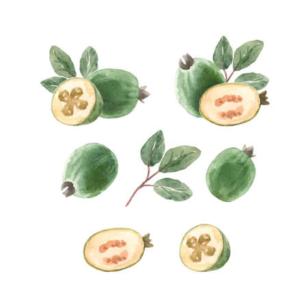 Beautiful set with watercolor hand drawn feijoa fruit. Stock illustration.