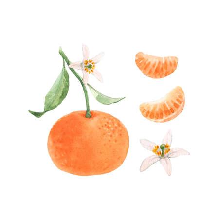 Beautiful set with watercolor hand drawn orange mandarin fruit. Stock illustration. Stock Photo
