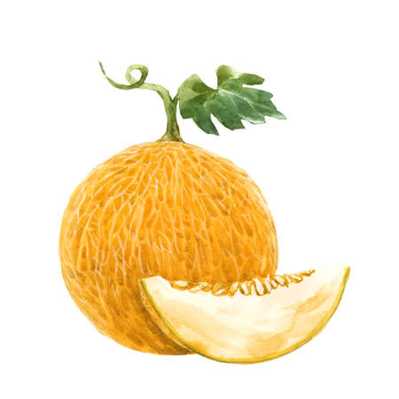 Beautiful stock illustration with watercolor hand drawn melon fruit. Stock Photo