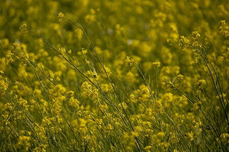 Yellow mustard field on a sunny day in india