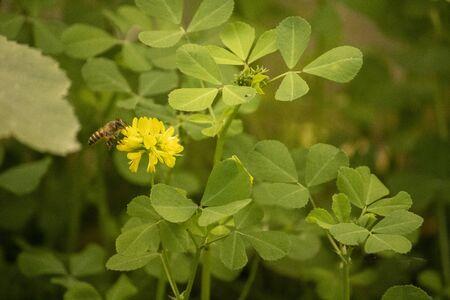 Yellow fenugreek flower with honeybee on it