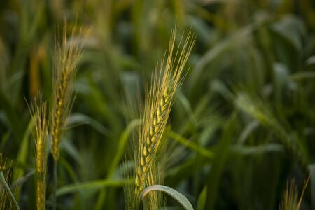 Green Wheat barley at field with blurred background