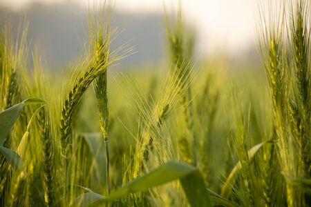 Campo de etapa vegetativa de trigo verde con fondo de papel tapiz de cebada