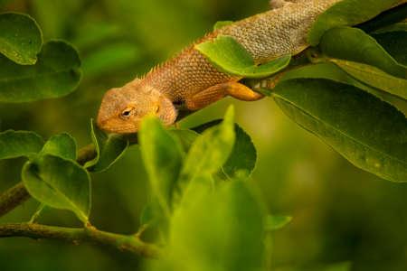 Indian Chameleon sitting on lemon tree branch