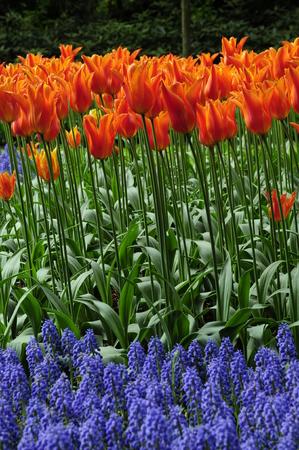 holand: Tulips Stock Photo