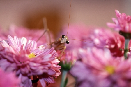 poised: chinese mantid poised on pink flowers